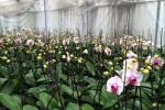 Lý do nên sử dụng máy phun sương tạo ẩm cho giàn trồng hoa lan vào mùa hè